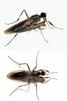 Hybotidae sp.