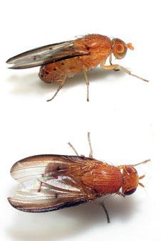 Sapromyza obscuripennis