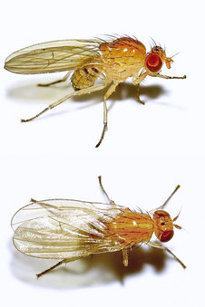 Lauxaniidae sp.