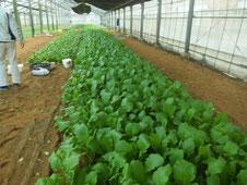 ハウス内野菜栽培