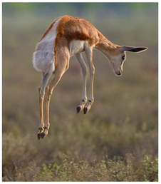 Gazelle de Thomson ; source : Yathin Krishnappa