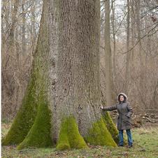 Chêne Geneau en forêt de Coucy Basse