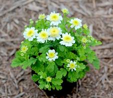 マトリカリア キク科学名:Tanacetum parthenium 松原園芸