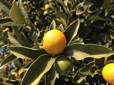 おすすめの実のなる植木 キンカン
