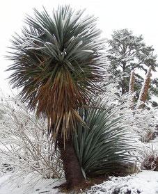 Bild Yucca schottii • JC Raulston Arboretum/NC © Michael Papay