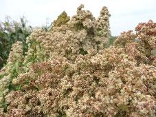 3 variétés de Quinoa en graine