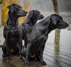 Hundeporträt, Labrador