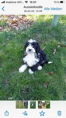 Teddy, Miniaussiedoodle