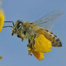 Ouaaaah ! Elle a bien travaillé... Le pollen c'est le steack de l'abeille !