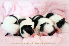 щенки японского хина в украине, Квитка Сакуры