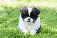 питомник японских хинов, милые щенки, щенки японского хина, Квитка Сакуры