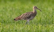 Großer Brachvogel, Foto: Bettina Kelm