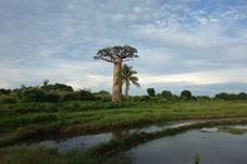 森を失い孤立するバオバブ。気候変動の被害を受けることが多くなった。