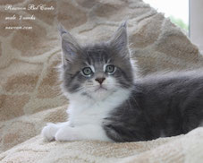 Rascoon Bel Canto (boy) blue tabbi white 7 weeks