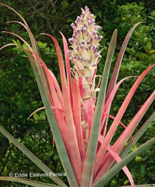 Bromelia richardii
