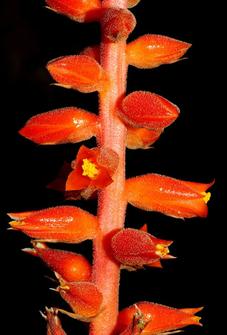 Dyckia acutiflora (Foto: Leme)