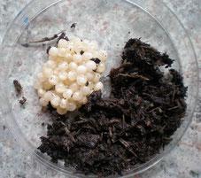 oeufs d'escargots