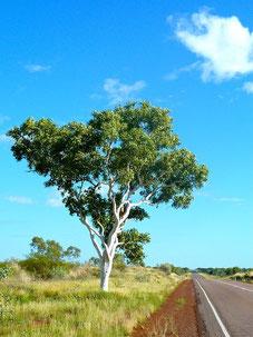 Eukalyptusbaum, Australien
