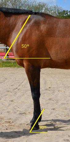 Der Winkel von Schulter und Fessel sollte sich gleichen.