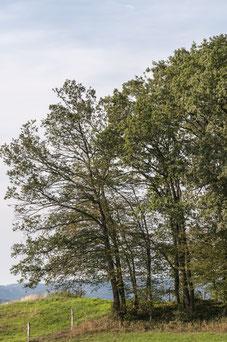 Eiche mit Trockenschaden verliert Belaubung im Juli (dh)