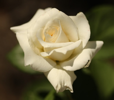 Rose Papst Johannes Paul II