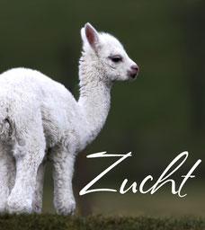 Alpakazucht Zucht Alpaka Verkauf Alpakafohlen Alpakaverkauf Verkaufstier Deckhengst Alpakastute Alpakahengst
