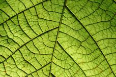 Grünes Blatt mit Feinstruktur