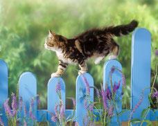 chat angora marche sur barrière bleue équilibre aventure dehors