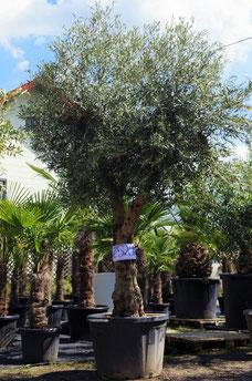XXL Olivenbäume zu kaufen - www palmencompany at Palmen u