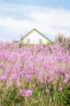 Photo d'un champ de fleur rose mauve symbole de la Gaspésie devant une maison canadienne pendant l'été prise par Marie Deschene photographe pour Pakolla