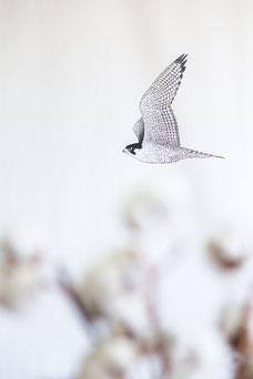 Photo d'un dessin d'oiseau sur toile au Café Le Falco dans le Mile-End à Montréal pendant le festival FIKAS par Marie Deschene