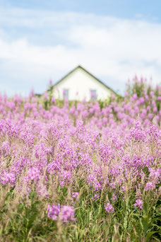 Photo of a field of pink flowers purple symbol of the Gaspé Peninsula in front of a Canadian house during the summer taken by Marie Deschene photographer for Pakolla