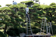 剪定する植木屋さん