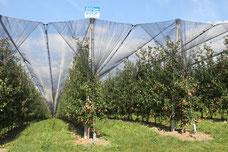 Orchard plant