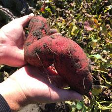 Erfolgreich eigene Süßkartoffeln anbauen