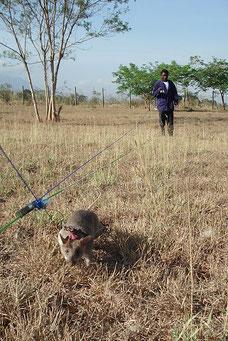 Riesenhamsterratte beim Suchen von Landminen