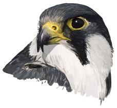 Diego Ortega Alonso. Ilustración Editorial y Científica. Pintura de la Naturaleza. Wildlife Art.