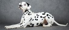 Hundeportrait, Foto (Ausschnitt): © DrakoNika, Fotalia