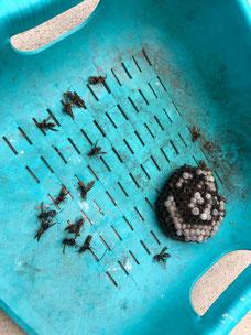 蜂の巣の撤去