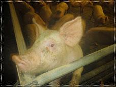 Blick in den Schweinestall