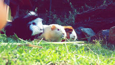 Meerschweinchen-Sommer