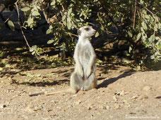Erdmännchen im Quiver Tree Forest Rest Camp