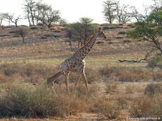 Giraffe im Wildreservat der Auob Lodge