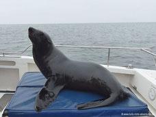 Robbe auf dem Boot