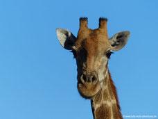 Mt. Etjo Wildreservat - Giraffe