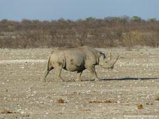 Etosha Nationalpark - Nashorn