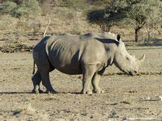 Mt. Etjo Wildreservat - Nashorn