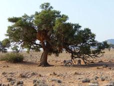 Sossusvlei Lodge - Oryx-Antilopen