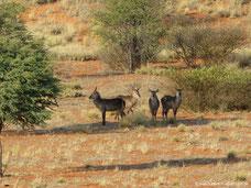 Wasserböcke im Wildreservat der Auob Lodge