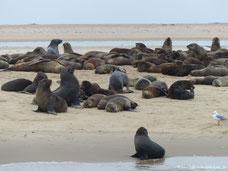 Robben am Pelican Point